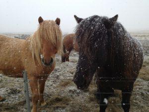 Islandsk hest